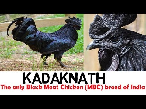 KADAKNATH chicken ,Only Animal to have a