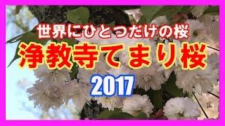 【散策物語】世界にひとつだけの桜「浄教寺てまり桜」 ~富山県小矢部市~ thumbnail