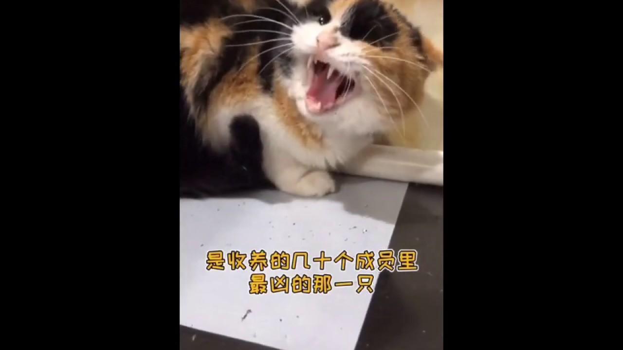 最凶的流浪猫收养一年后