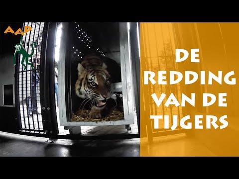 De Reddingsactie Van De Tijgers Pt 2 - Help Mee! - Stichting AAP