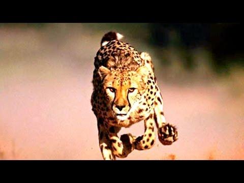 ✦ CHEETAH WILD COALITION ✦ Animal Documentary National Geographic [Cheetah Video]