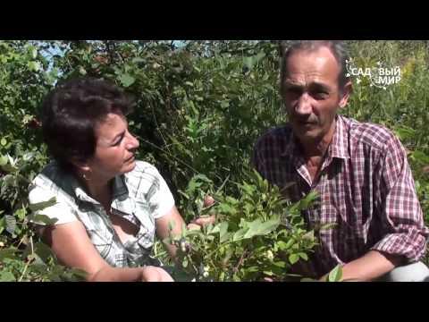 """Как вырастить садовую голубику. Сайт """"Садовый мир"""""""