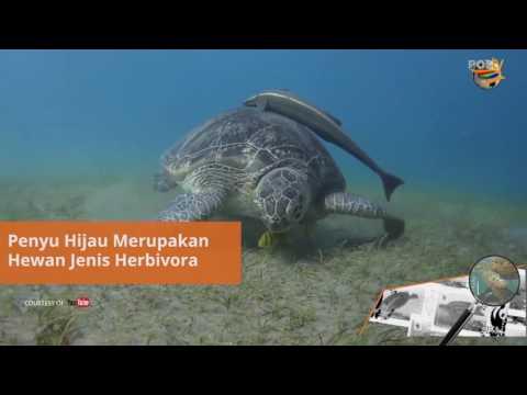 Prangko Seri Penyu Terancam Punah di Indonesia - LUP - POSTV Episode 17