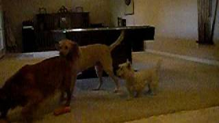 Yellow Lab, Golden Retriever And Westie Playing