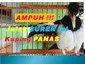 Ampuh Masteran Jalak Suren Kuping Panas Jalak Kebo Jalak Nias Jalak Putih Nyaut  Mp3 - Mp4 Download