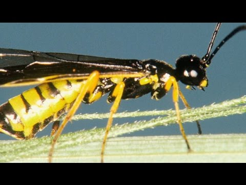 Wheat Stem Sawfly - Jeff Bradshaw - April 8, 2016