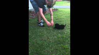 Cute Mini-dachshund/pomeranian Puppy Pounces Across Grass.