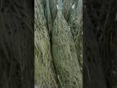 Живые ёлки оптом в Санкт-Петербурге [Готовим к отправке]