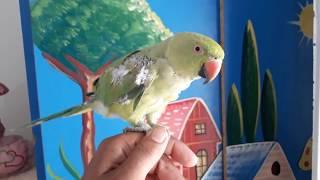 Mere Green Parrot Ke Par(Wings) Kyun Jhar Jate Hai?Answer In This Video#