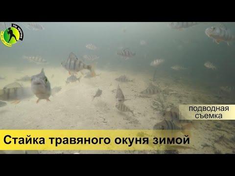 подводная съемка клева окуня
