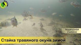 Подводная видео съемка ловли травяного окуня зимой на мормышку