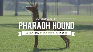 ALL ABOUT PHARAOH HOUNDS: EGYPT'S ANCIENT DOG BREED