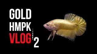 Gold Hmpk Beta Üretim VLOG - 2 - DİŞİ YUMURTLADI