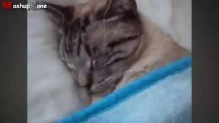 Смешные кошки которые ведут себя как люди/Funny Cats Acting Like Humans Compilation 2015