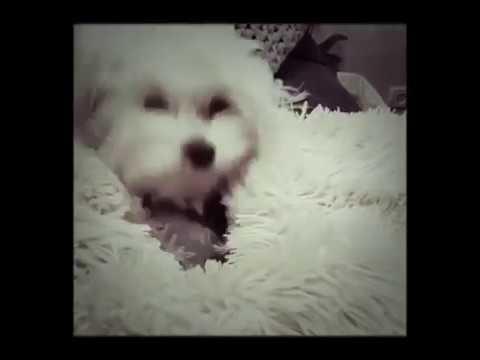 Hello- Adele. Funny dog vine