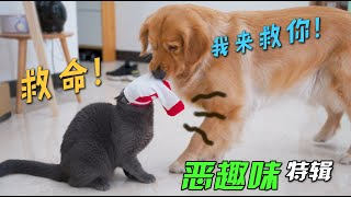 Put socks on the cat's head, can the cat still walk? Big Golden Retriever can't stand it anymore!