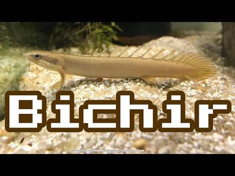 Bichir Fish Tanks Aren't For Me