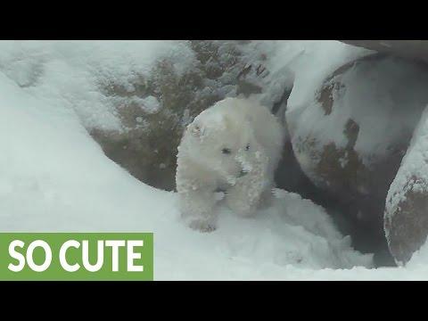 Polar Bear cub experience snow for the first time