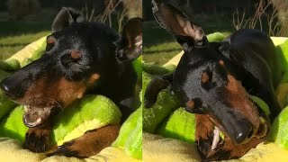 MANCHESTER TOY TERRIERS