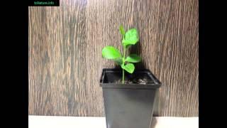 Растение лимон в домашних условиях | Plant a lemon at home