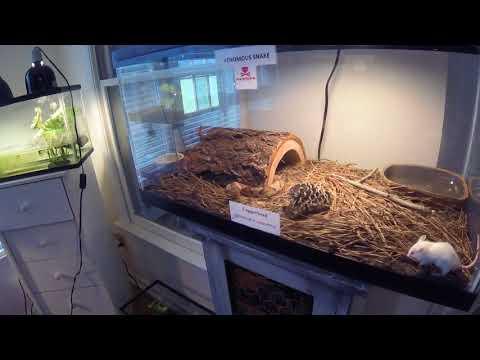 Pit Viper Feeding