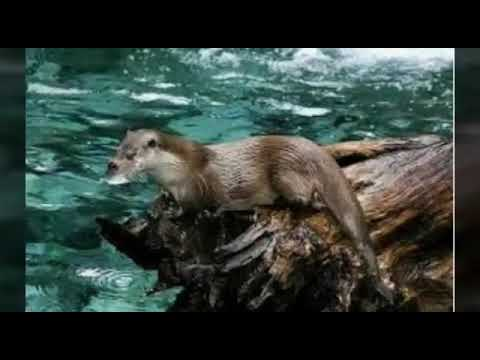 Su Samurları kisa belgesel
