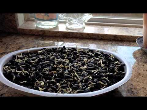 How To Sprout Sunflower Seeds   Cheap & Easy