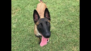 Two years in 5 minutes -- raising another Belgian Malinois