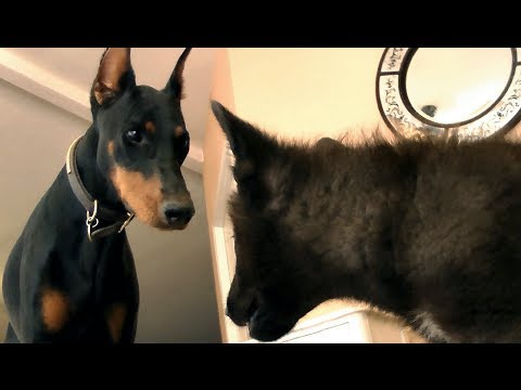 Doberman Pinscher Meets Baby Wolf