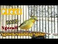 Pleci Dakbal Pleci Paud Ngecal Ngriwik Belajar Ngalas  Mp3 - Mp4 Download
