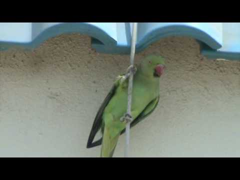 The singing green parrot!