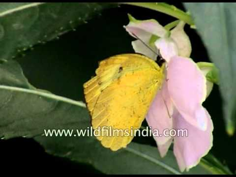Yellow Emigrant and Lime Butterflies in Delhi