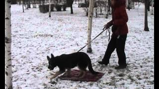 Дрессировка ОКД щенка ВЕО Команда место первая часть