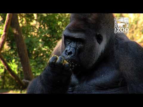 Silverback Gorilla Jomo Celebrates 26th Birthday - Cincinnati Zoo