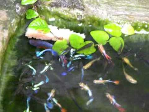 Guppy fish in my pond lots of guppies live with betta for What kind of fish live in ponds