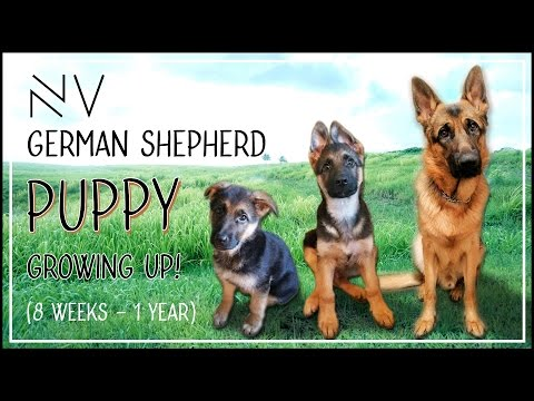 Thumbnail: German Shepherd Puppy Growing Up (8 Weeks - 1 Year) | NerdVlog