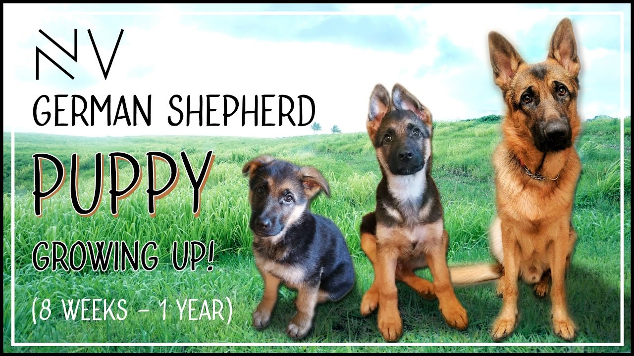 German shepherd puppy growing up 8 weeks 1 year nerdvlog german shepherd puppy growing up 8 weeks 1 year nerdvlog youtube nvjuhfo Choice Image