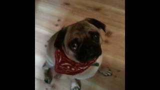Happy Birthday Pug Head Tilt