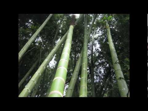 BBC Radio 4's Green Gold - The Bamboo Boom