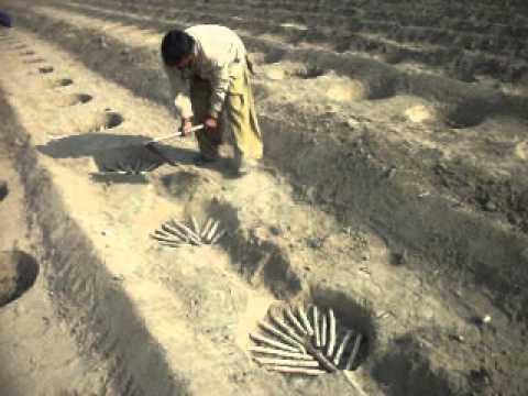 SUGARCANE RING PIT TECHNOLGY AT RASHDI AGRICULTURE FARM KHESANAMORI