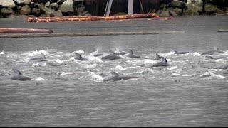 Dolphins and Orcas Visit the Mamquam Blind Channel in Squamish, BC