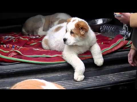 КАКИМИ  ДОЛЖНЫ БЫТЬ ЩЕНКИ АЛАБАЯ.The biggest dog. Odessa.