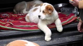 КАКИМИ  ДОЛЖНЫ БЫТЬ ЩЕНКИ АЛАБАЯ.The biggest dog. Odessa.(, 2015-01-28T14:55:30.000Z)