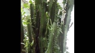 Комнатные растение.кактус
