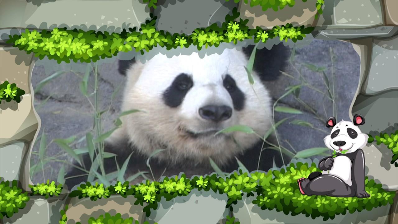 Animales en peligro de extinción - oso panda - YouTube