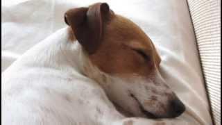 Mother IVI *  Jack Russell Terrier  * Щенки Джек-Рассел-Терьер