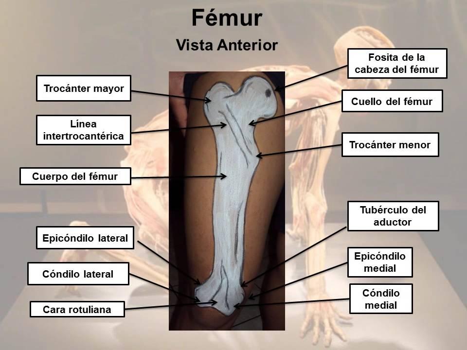 Anatomía miembros inferiores: Estructuras óseas y musculares. - YouTube