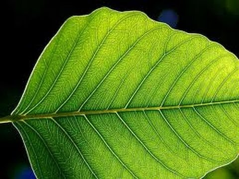Plant  Leaf  - Leaves - lesson - Education videos  for kids from www.makemegenius.com