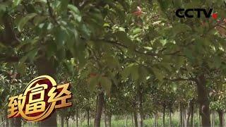 《致富经》 20200623 奇思妙想发树财  CCTV农业