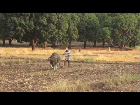 Farmer Plowing with a Carabao in the Philippines